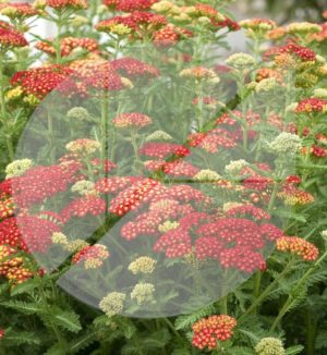 Achillea millefolium 'Strawberry Seduction' (Achille) - Pépinière