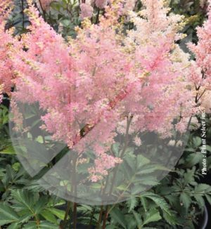 Astilbe japonica 'Peach Blossom' (Astilbe du Japon) - Pépinière