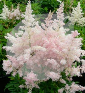 Astilbe 'Younique Silvery Pink' (Astilbe) - Pépinière