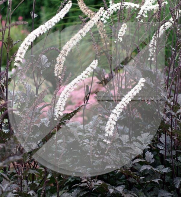 Cimicifuga racemosa 'Chocoholic' (Cierge d'argent) - Pépinière