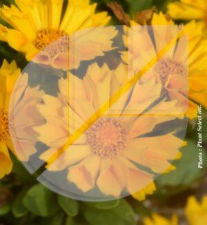 Coreopsis grandiflora 'Jethro Tull' (Coréopsis à grande fleurs) - Pépinière