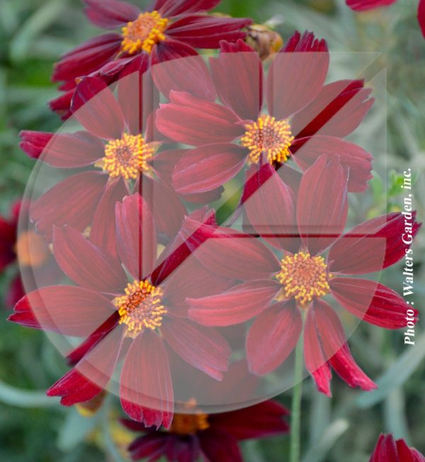 Coreopsis permathread 'Red Satin' (Coréopsis) - Pépinière