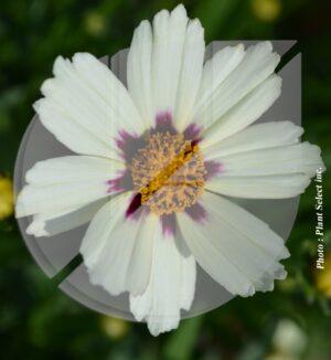 Coreopsis x 'Star Cluster' (Coréopsis) - Pépinière