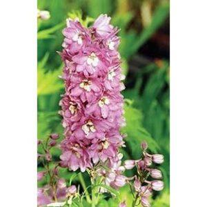 Delphinium Magic Fountains 'Rose Lilas/White Bee' (Pieds d'alouette) - Pépinière