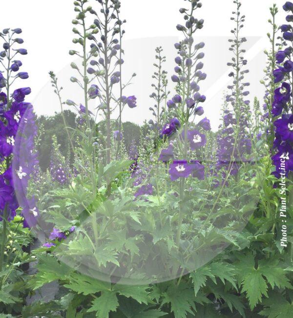 Delphinium Magic Fountains 'Dark Blue/White Bee' (Pieds d'alouette) - Pépinière