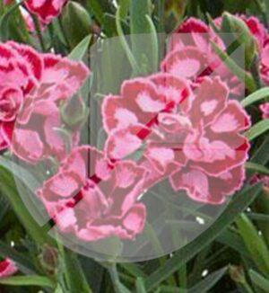 Dianthus 'Everlast Red and Pink' (Oeillet des montagnes) - Pépinière