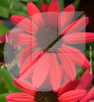 Echinacea purpurea 'Glowing Dream' (Échinacée pourpre) - Pépinière