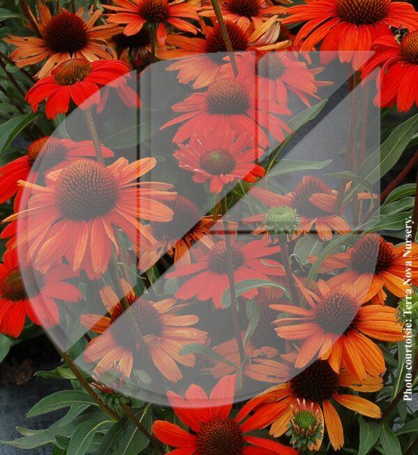 Echinacea série Butterfly 'Orange Skipper' (Échinacée) - Pépinière