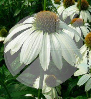 Echinacea purpurea 'Pow Wow White' (Échinacée pourpre) - Pépinière
