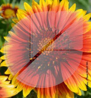 Gaillardia aristata 'Arizona Sun' (Gaillarde) - Pépinière