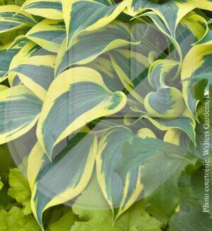Hosta 'Automn Frost' (Lys plantain) - Pépinière