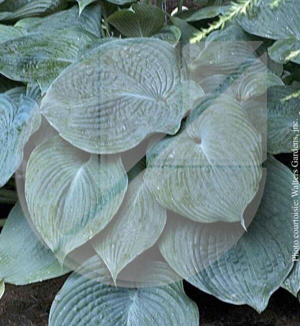 Hosta 'Blue Angel' (Lys plantain) - Pépinière