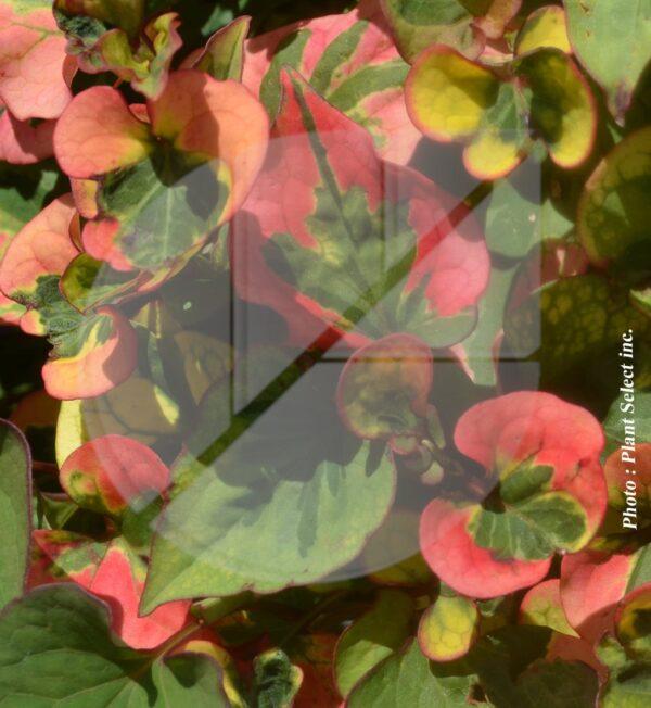 Houttuynia cordata 'Chameleon' (Plante Caméléon) - Pépinière
