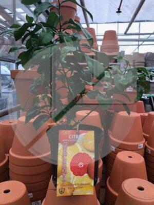 PROMO Plantes d'agrumes Pamplemousse / Grapefruit - Pépinière