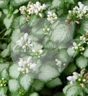 Lamium maculatum 'White Nancy' (Lamier maculé) - Pépinière