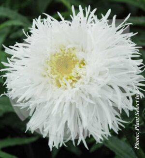 Leucanthemum x superbum 'Aglaïa' (Marguerite) - Pépinière