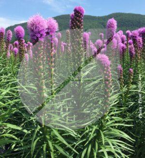 Liatris spicata 'Floristan Violet' (Liatride à épi) - Pépinière